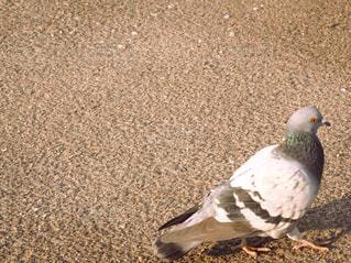 夕暮れと鳩の写真・画像素材[3098584]