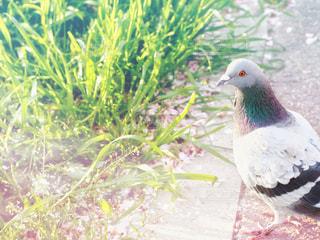 夜明けと鳩の写真・画像素材[3098585]