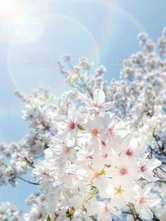 満開桜輝きの写真・画像素材[3103135]