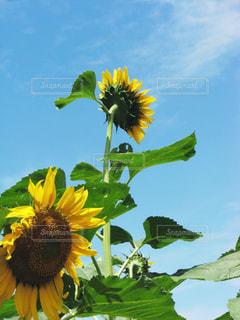 快晴と向日葵の写真・画像素材[3160728]