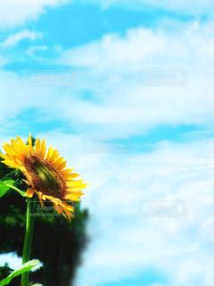 快晴と向日葵の写真・画像素材[3160743]