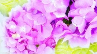 紫陽花の紫•明の写真・画像素材[3194404]