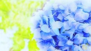 紫陽花の青の写真・画像素材[3194406]