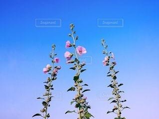 空に向かう立葵の写真・画像素材[3332343]