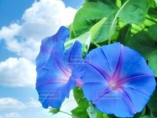 朝顔の夏休みの写真・画像素材[3401282]