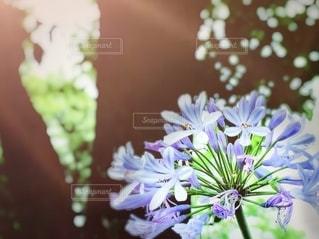 光射すアガパンサスの写真・画像素材[3423297]