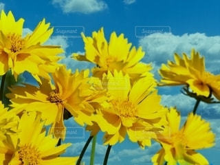 快晴夏空の夏咲きコスモスの写真・画像素材[3443061]