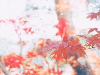 紅葉と降雪の写真・画像素材[3527377]