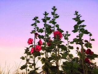 立葵と夕暮れの写真・画像素材[3687249]