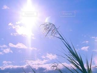 太陽とヨシ 葦の写真・画像素材[3884546]