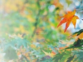 紅葉 カエデ一葉の写真・画像素材[3942641]