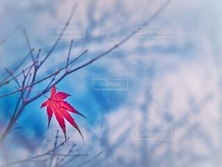 紅葉 楓一葉の写真・画像素材[3969643]