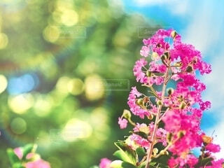 百日紅 サルスベリの写真・画像素材[4026754]
