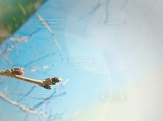 初春 桜のつぼみの写真・画像素材[4077465]