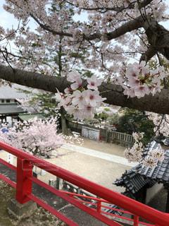 兵庫県宝塚市 中山寺 桜の写真・画像素材[1258233]