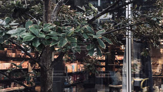 部屋の大きな木の写真・画像素材[1652095]