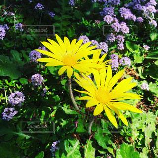 庭の黄色の花の写真・画像素材[1257279]