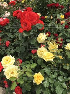 赤とイエローの色鮮やかなバラの写真・画像素材[1257883]