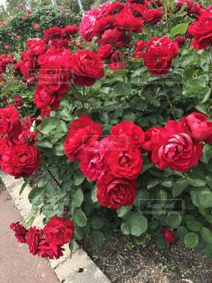 真っ赤な薔薇の写真・画像素材[1258979]