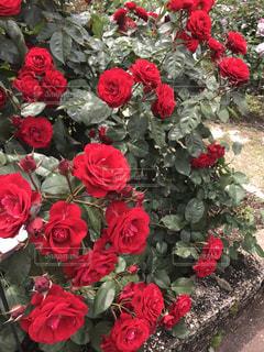 情熱の赤い薔薇の写真・画像素材[1258980]