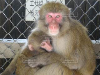お互いに保持している猿の写真・画像素材[1281405]