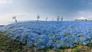 ネモフィラの花畑の写真・画像素材[2099518]