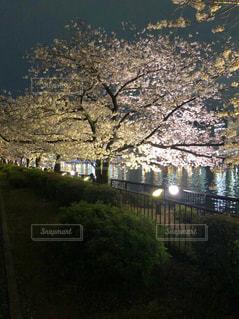 川沿いの夜桜の写真・画像素材[2099550]