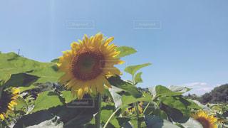 太陽に向かって…。の写真・画像素材[1265978]