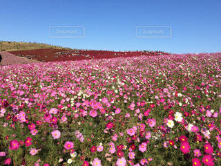 秋の国営ひたち海浜公園。コスモスとコキアのお花畑。の写真・画像素材[1261631]