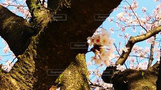桜の木の枝の写真・画像素材[1260225]
