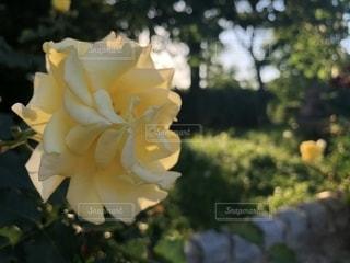 黄色のバラの写真・画像素材[1261863]