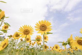 ❇︎ Sunflower 🌻の写真・画像素材[2375490]