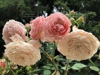 ピンクの花のグループの写真・画像素材[1261282]