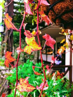 蔦の紅葉の写真・画像素材[1555162]
