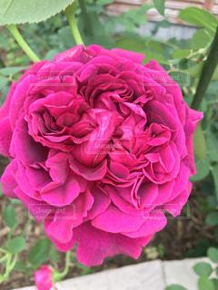 優雅な薔薇バラの写真・画像素材[1261376]