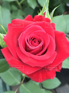 額縁に入れて飾りたいような薔薇の写真・画像素材[1261397]