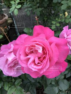 ピンクの薔薇の写真・画像素材[1261405]