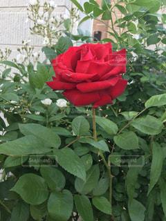 赤いバラの写真・画像素材[1261425]