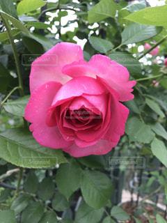 近くの花のアップの写真・画像素材[1261428]