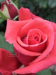 美しい赤いバラの写真・画像素材[1261430]