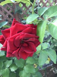 近くに緑の葉と赤い花のアップの写真・画像素材[1261468]