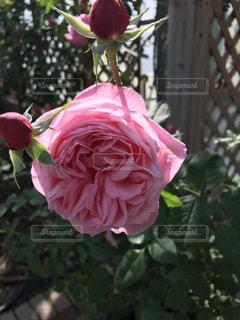 近くにピンクの薔薇のアップの写真・画像素材[1261471]