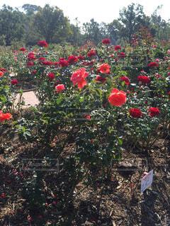 赤い花の写真・画像素材[1261546]
