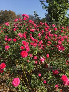 ピンクの薔薇の写真・画像素材[1261552]