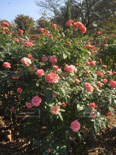 赤いバラの写真・画像素材[1261553]