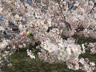 桜の木の写真・画像素材[1261560]