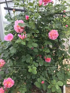 植物にピンクの花の写真・画像素材[1262556]
