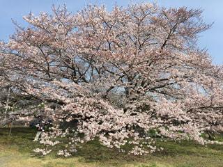 大きな桜の写真・画像素材[1268355]