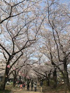 浮間公園の桜並木の写真・画像素材[1726390]