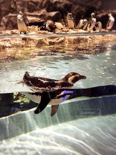 泳ぐペンギンの写真・画像素材[1762623]